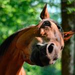Лошадь фыркает