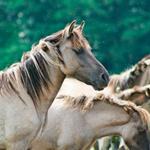 Лошадь храпит хвук