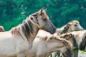 Ржание лошади слушать и скачать