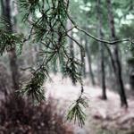 Капли дождя на ветке сосны в лесу — иллюстрация для публикации «звук дождя в лесу»