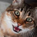 Скачать звук мяуканья кошки