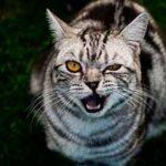 Звук шипения кошки