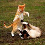 Две кошки борются — иллюстрация к публикации «Кошачья драка звуки»