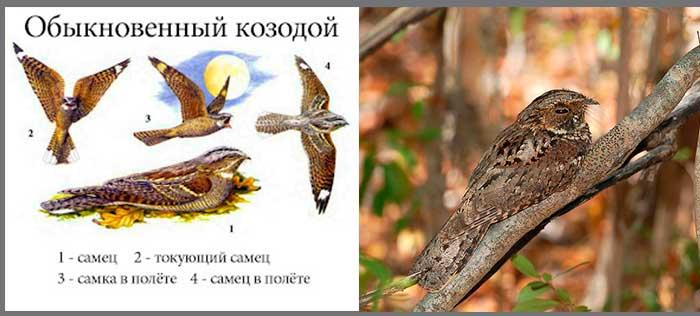 Крики ночных птиц — козодой