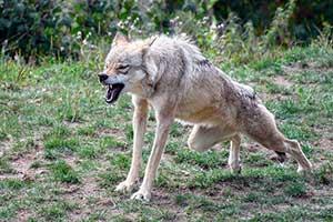 Волк скалит зубы и готовиться к прыжку — иллюстрация к публикации «Звук рычания волка»