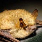 Звуки летучих мышей слушать